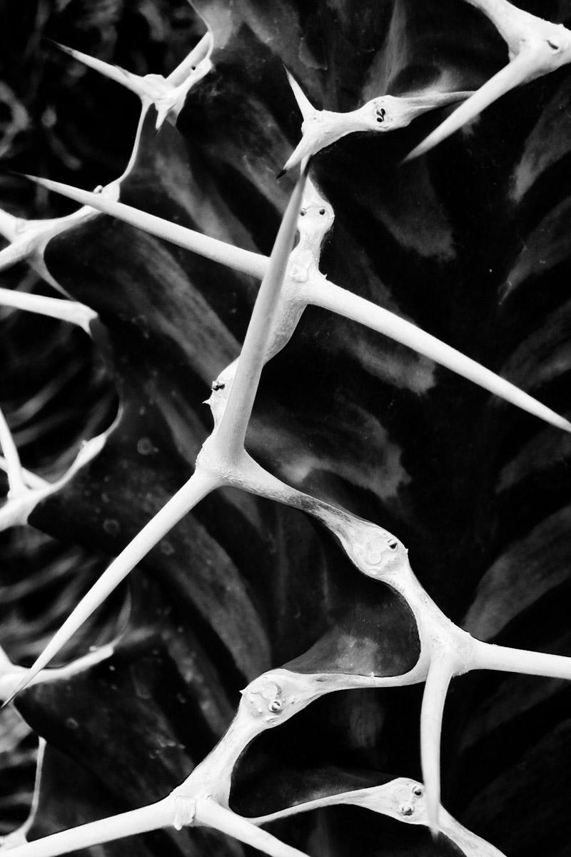 zigzag dornen sukkulente in der sukkulenten sammlung zürich