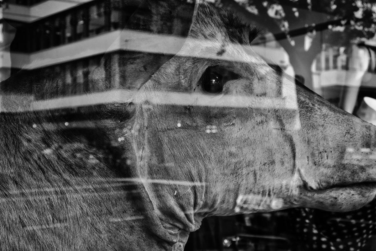 taxodermy antilope in einem schaufenster