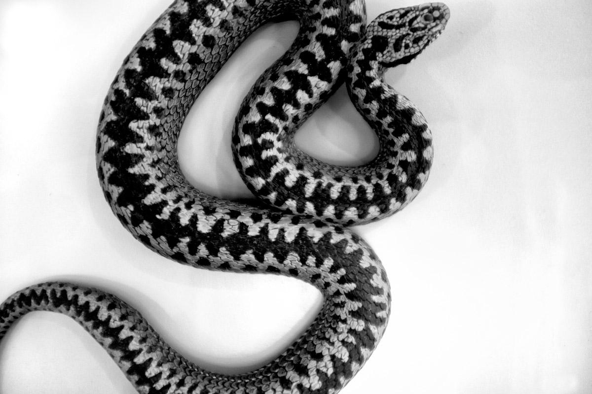 schlange (viper)
