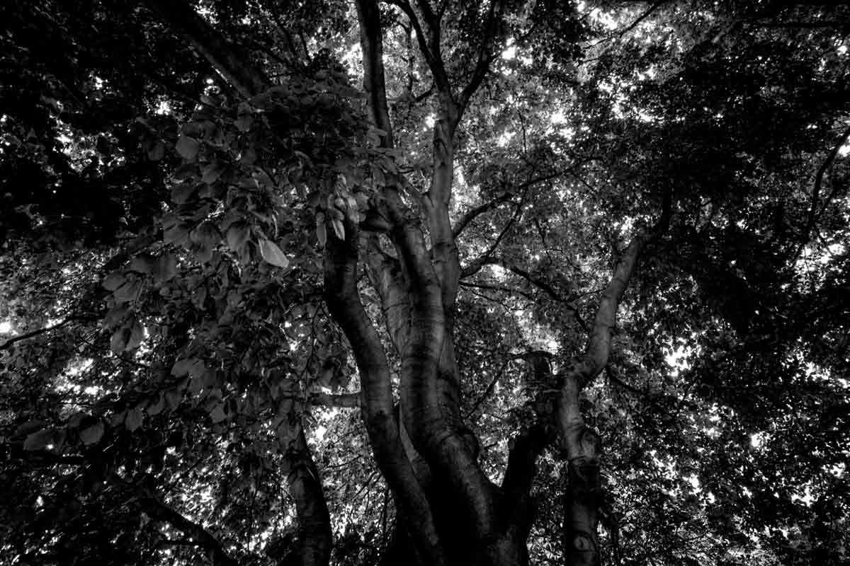 buchenbaum im wald