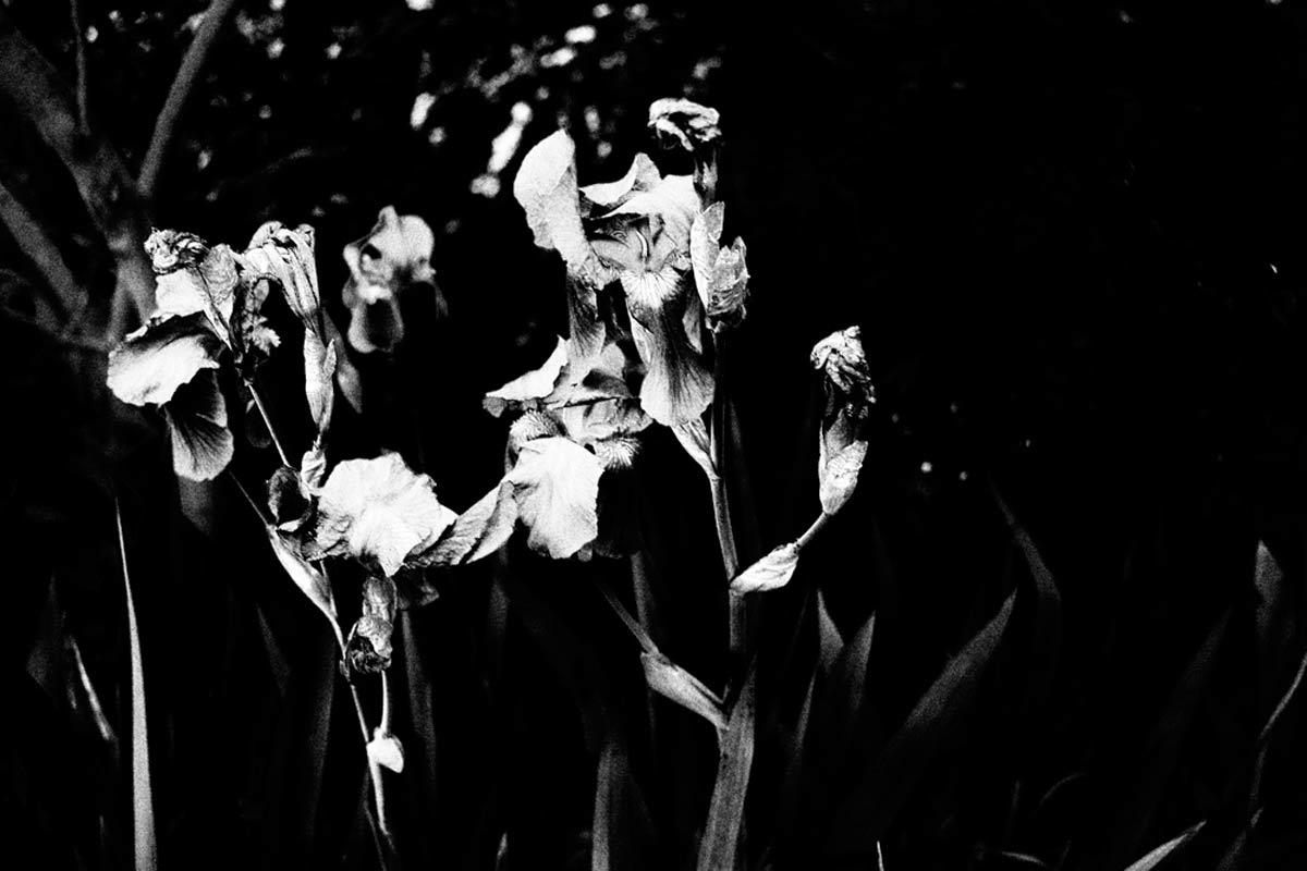 einige alte lilien