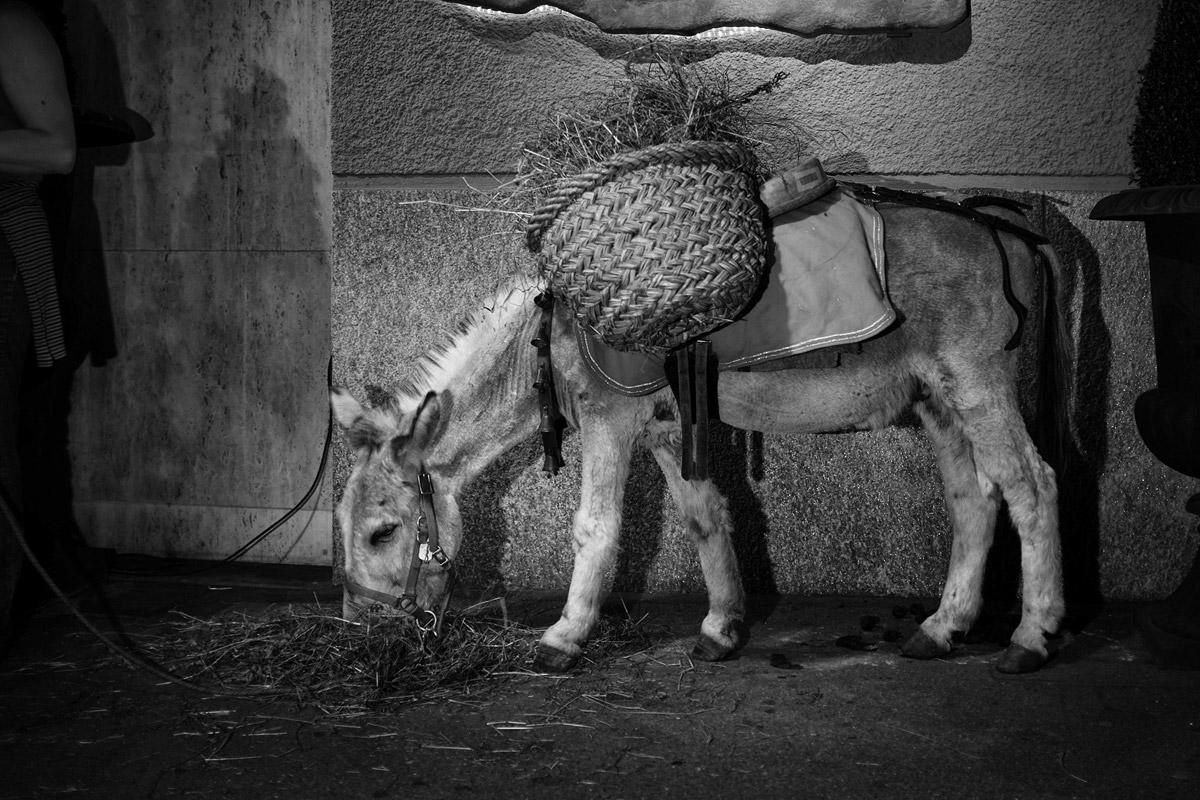 esel (equus asinus asinus) werden genutzt um waren zu transportieren
