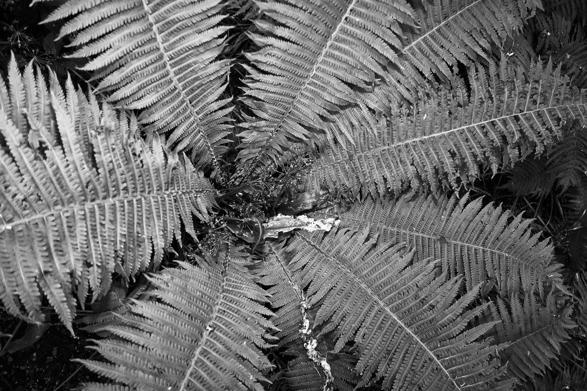 farn in zentraler ansicht, blitzlicht, (pteridophyta)