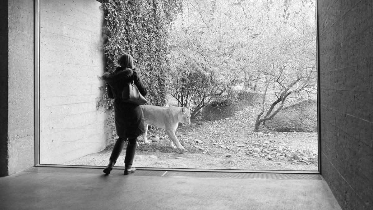 junge frau (homo sapiens) betrachtet einen löwen (panthera leo)