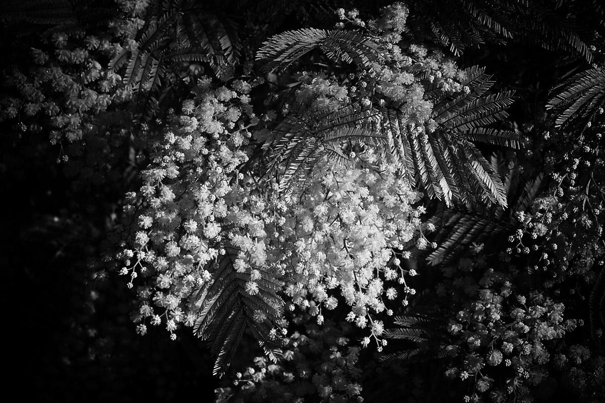 mimose (eigentlich eine silber akazie, acacia dealbata)