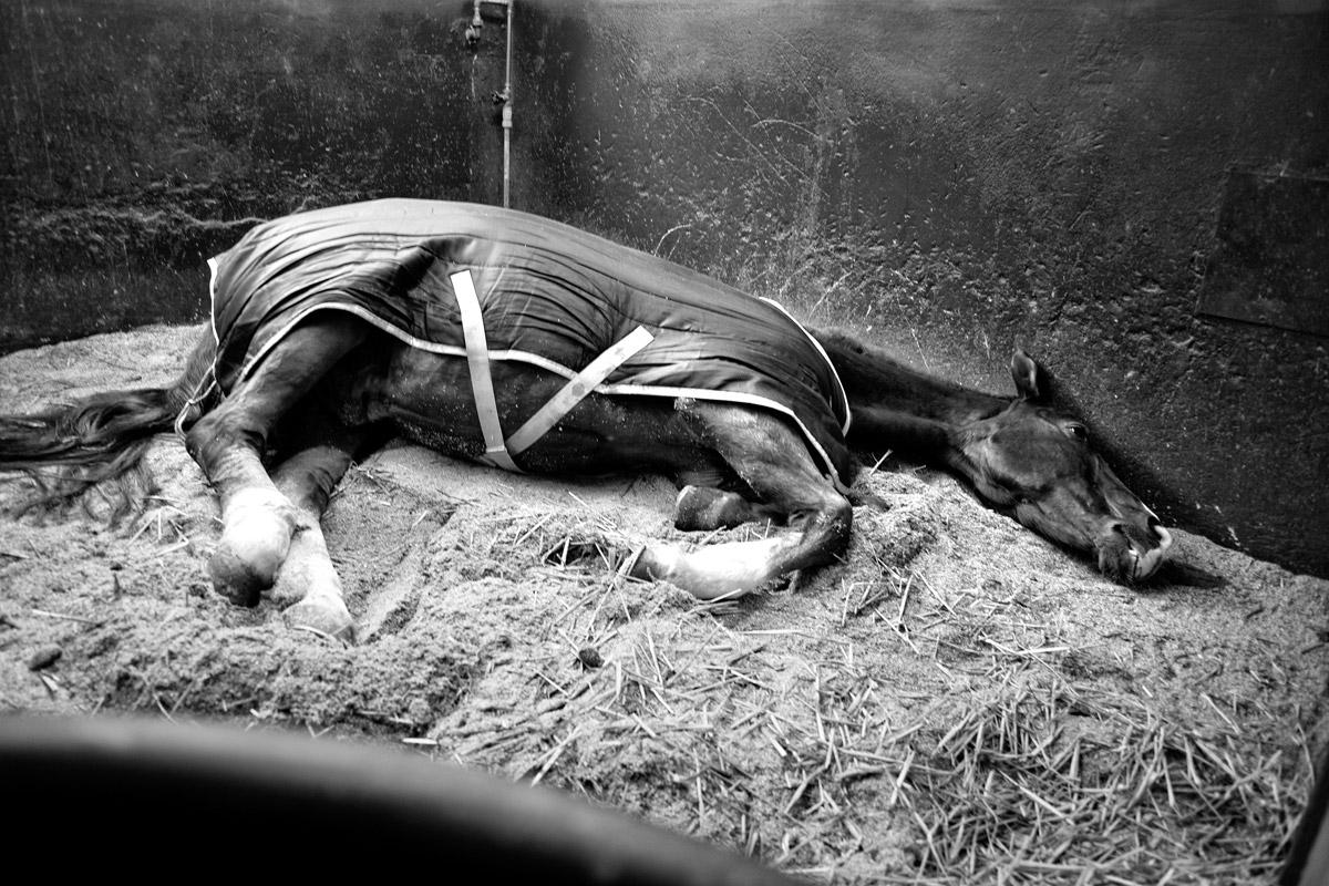 liegendes krankes pferd