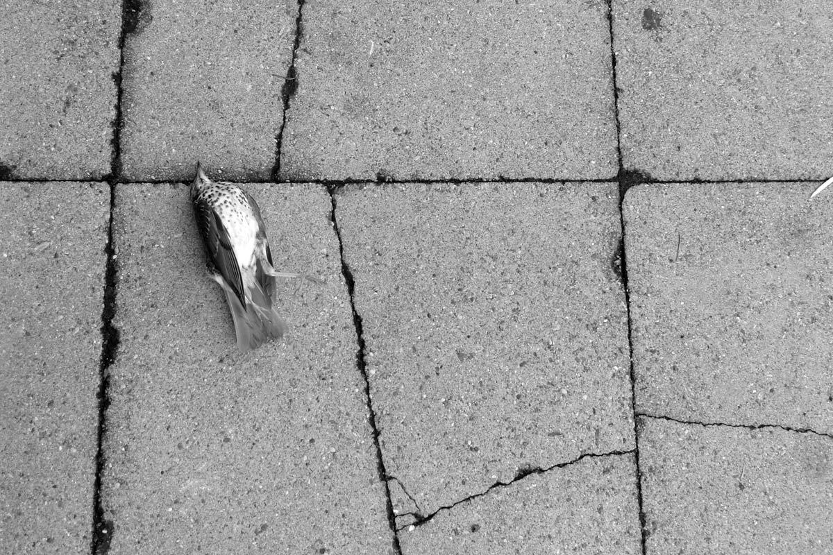 ein toter star (sturnus vulgaris)